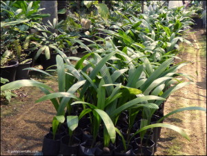 Poonsak's savings for retirement: 2,000 seedlings of Johannesteijsmannia magnifica