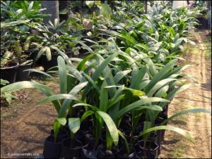 Poonsak's savings for retirement: 2,000 seedlings of Johannesteijsmannia magnifica