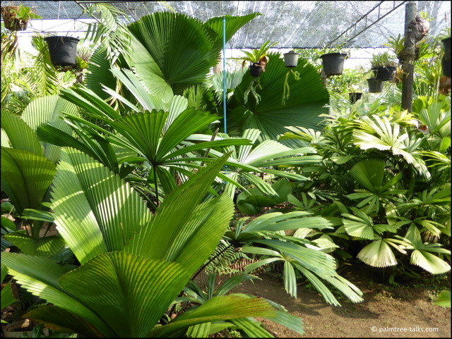 The two palm families that dominate the nursery: in the front Johannesteijsmannia and in the back several species of Licuala.