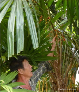 Poonsak identifying a Licuala species by its fruit.