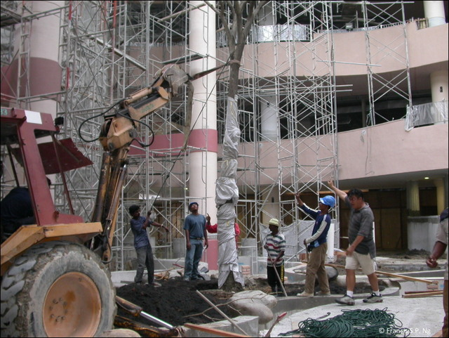 Lifted up by a crane and lowered from the opening on the top of the atrium, the tree finds its destination inside the shopping mall.