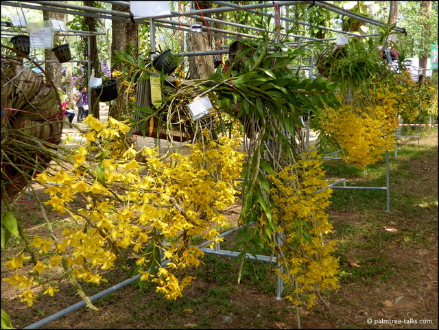The Dendrobium lindleyi originates from the surrounding forests and is the pride of the province of Chanthaburi.