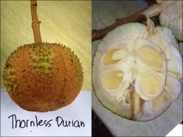 Left the thornless (well, almost) durian from the Philippines that is used to hybridize a Thai variety; right the white flesh of the thornless durian should be more yellow to appeal to a wide public.