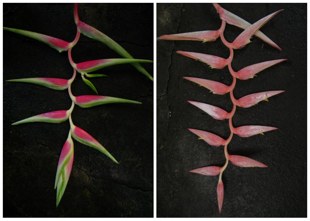 New varieties of Heliconia, raised by Mr. Annop from seed and registered by him at the Heliconia Society International. Left is Heliconia chartacea cv. San Rafael, from seed he collected in Peru. Its inflorescence has a white rachis (the main axis or 'shaft') that differs from other H. chartacea. San Rafael is the small island in the Amazon river where he found the seed. Right is Heliconia X cv. Carla Black, raised from seed that he got from Ms. Carla Black, President of the Heliconia Society International. After four years of breeding from seed, he found out that it is a hybrid of H. penduloides with H. fernandezii, so he named it after Ms. Carla Black.