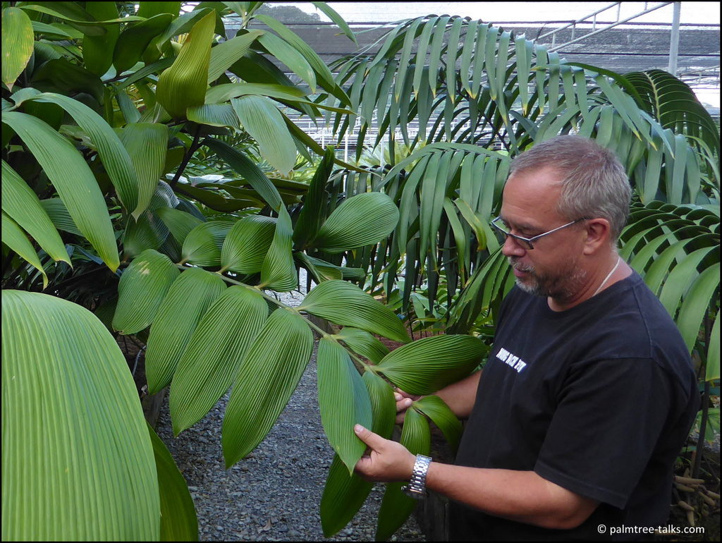 """Lindstrom tenderly strokes the leaves of Zamia imperialis from Panama: """"It is so huge and nice."""""""