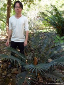 "Chalermchart: ""Palms and cycads make a good combination in landscaping. But cycads take a long time to grow, especially since I like to grow them from seed."""