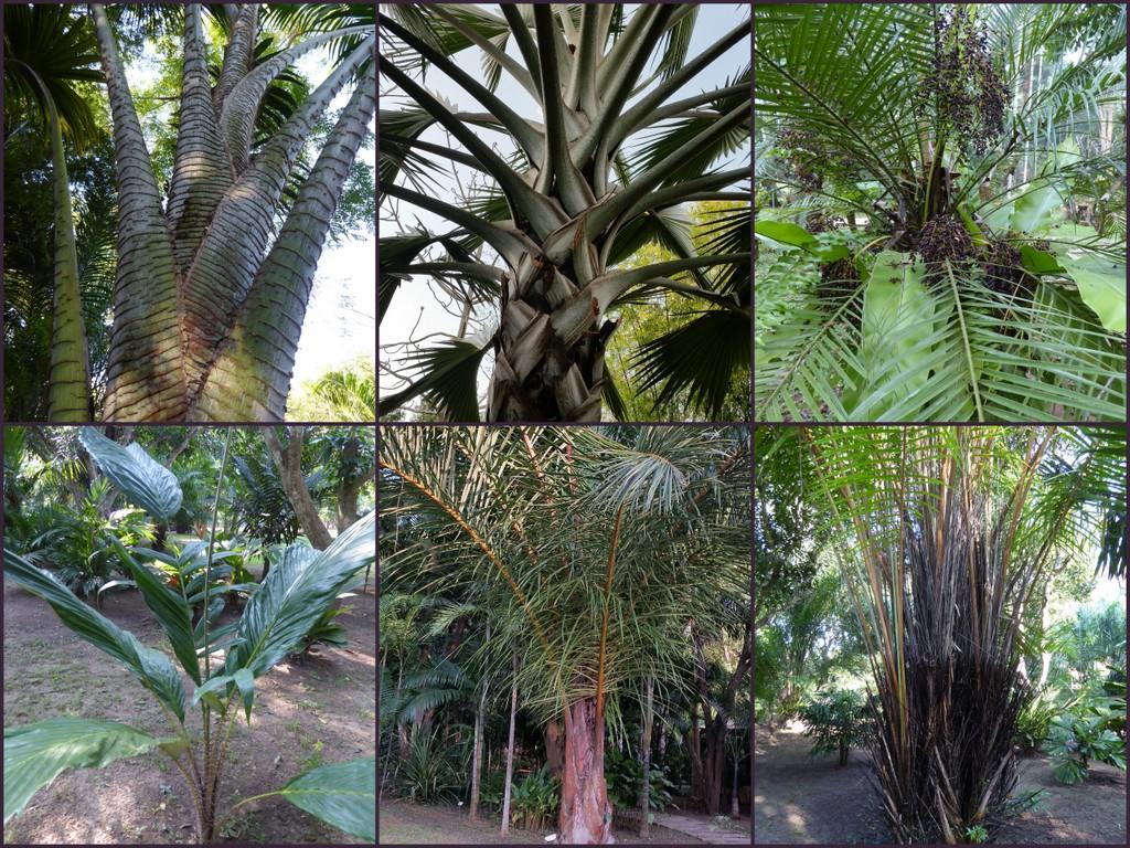 From top left to bottom right: Pigafetta filaris, Bizmarckia nobilis, Phoenix robelenii, Salacca sp., Raphia farinifera, Raphia vinifera