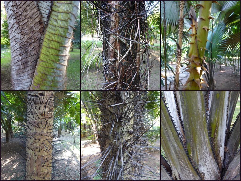 From top left to bottom right: Pigafetta filaris, Raphia hookeri, Plectocomia sp., Aiphanes minima, Aiphanes caryotoides, Corypha utan