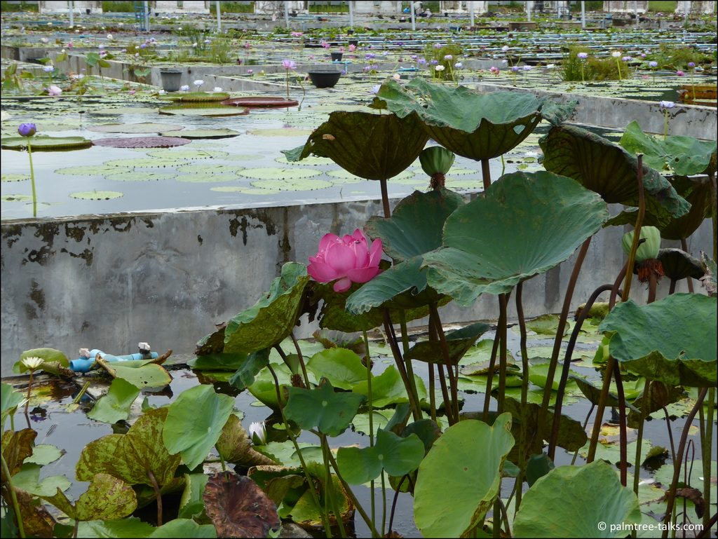 Legend has it that the seeds of the lotus were once eaten exclusively by Chinese emperors to prolong life.