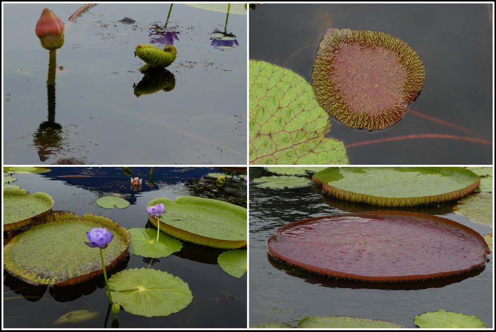From top left to bottom right: Victoria cruziana, Euryale ferox, unnamed hybrid, Victoria amazonica