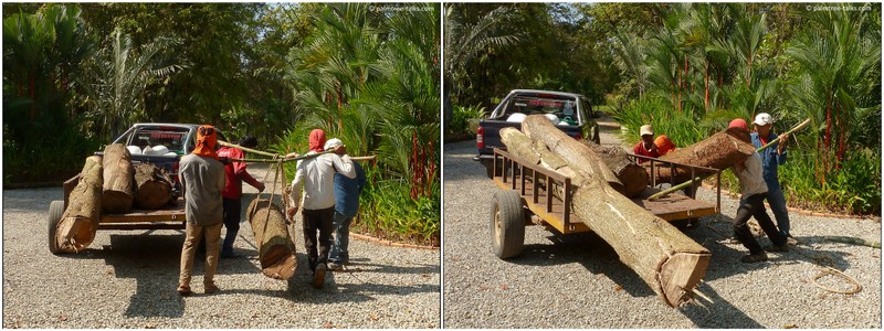 Off they go, loading the trunks. The yield of the timber is their wage for the job.