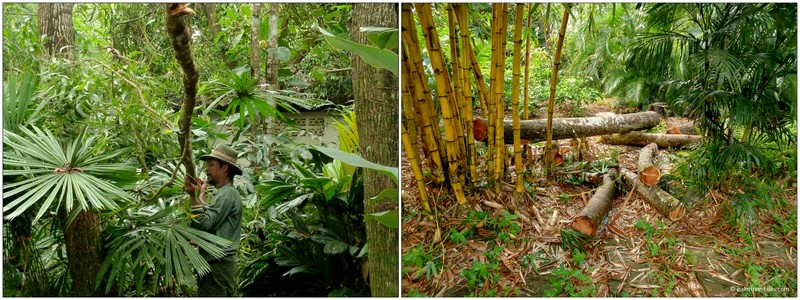 Attached by ropes, the cut branches dangle above the precious undergrowth of palms and plants, until they can land on a safe place.