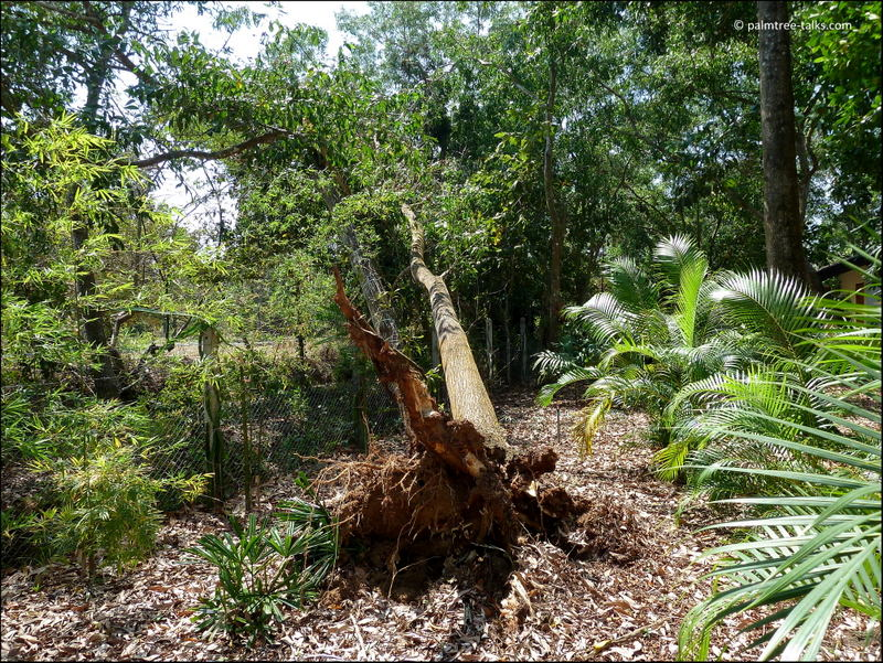 Healthy tree − free from fungus, termites, root rot, flooding, digging or any other danger. Yet, it tumbled down. Just like that.