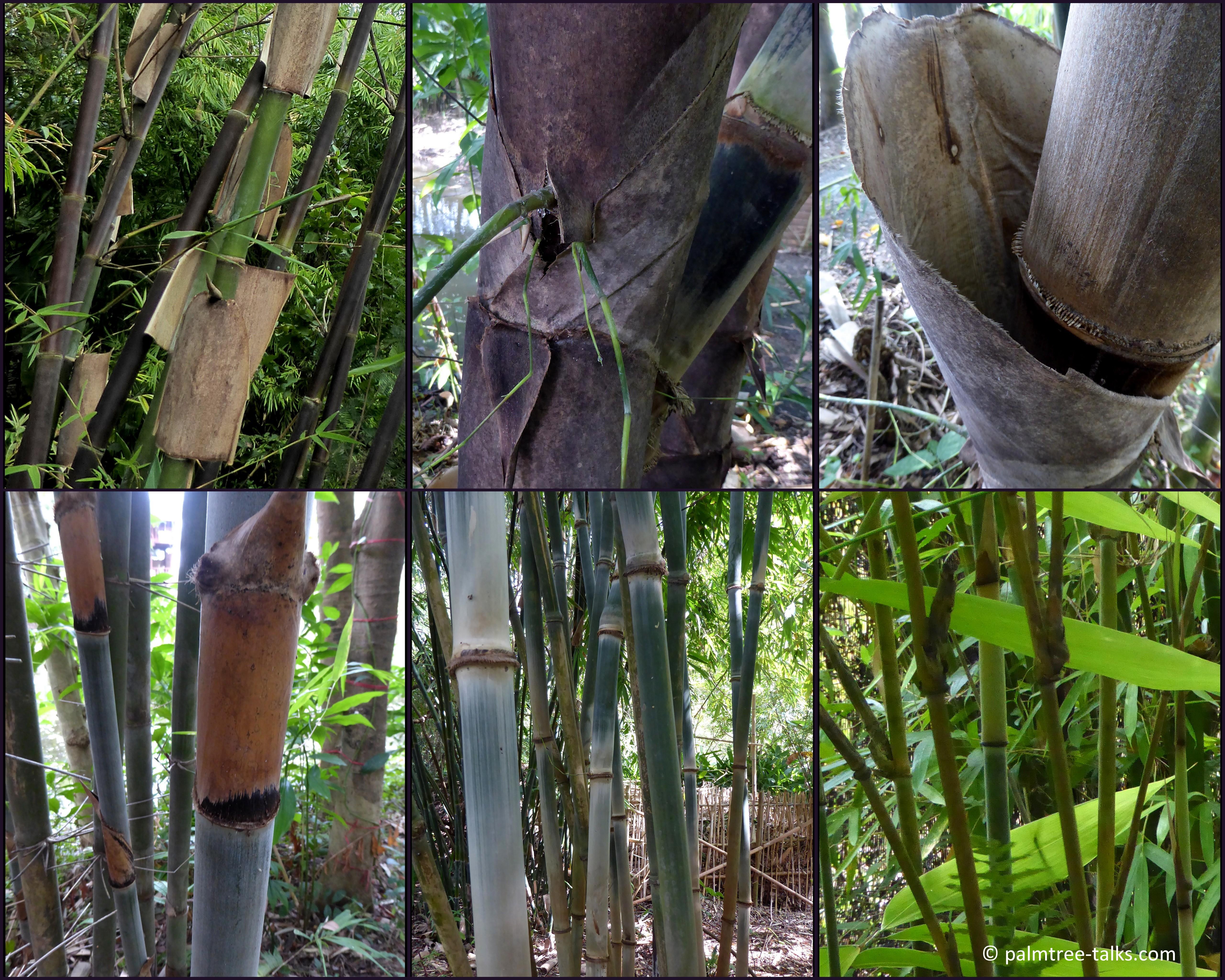 Bamboes Dieter1