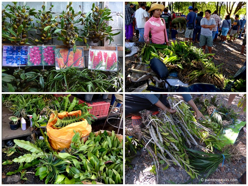 Wild orchids for sale at the border markets with Myanmar and Cambodia and at Chatuchak market in Bangkok.