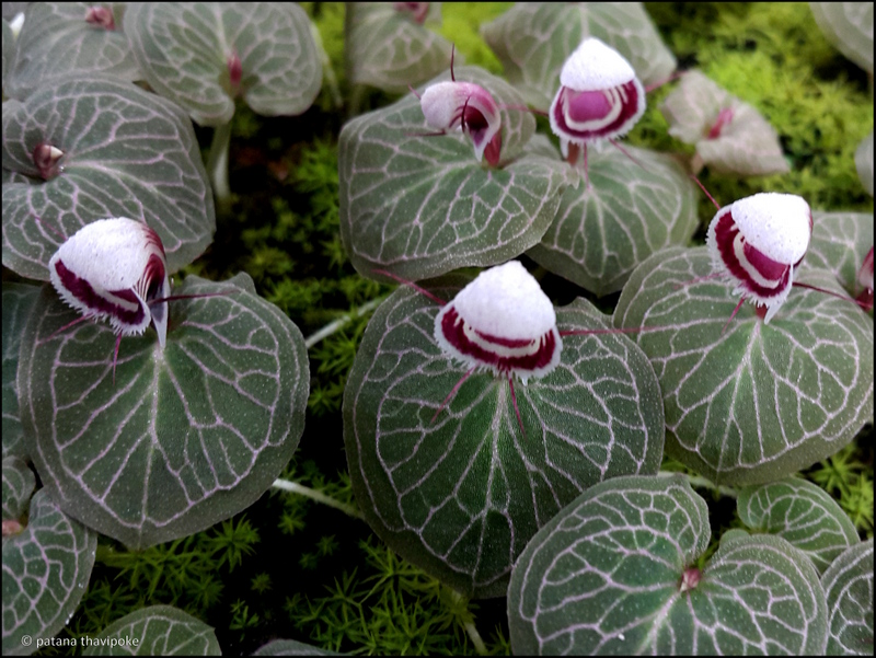 A striking study of Dr. Patana and colleagues concerns the breeding of a tiny terrestrial orchid with a single leaf and a single flower, the Corybas ecarinatus. This rare beauty, originally from southern Thailand, is successfully propagated in his lab. (© photos Patana Thavipoke)