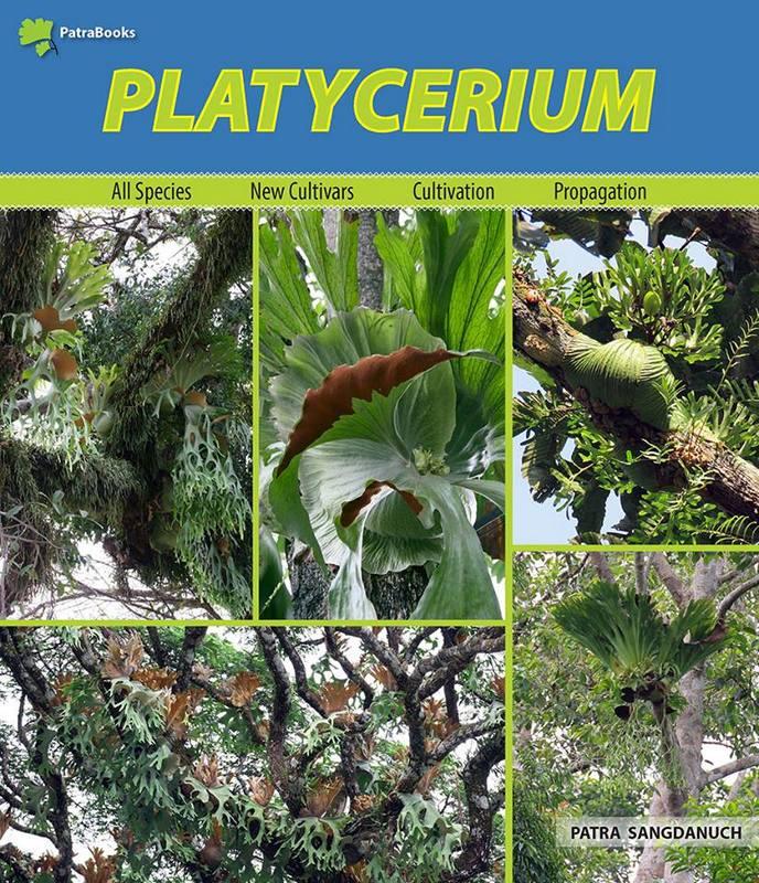 platycerium patra